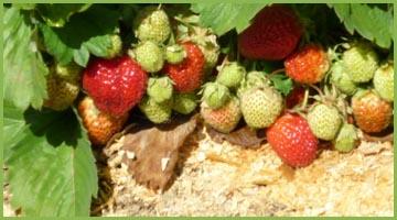 Опилки в огороде польза или вред